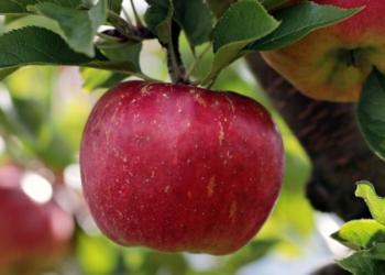 Pesquisa descobre como eliminar pesticidas de frutas | Foto: Aquivo