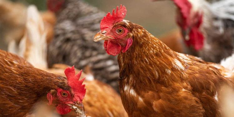 gripe aviaria no Irã